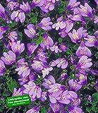 BALDUR-Garten Winterharter Bodendecker 'Mazus Reptans', 3 Pflanzen Lippenmäulchen Himalaya Löwenmäulchen