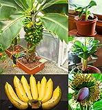 200 Stück Banana Samen, Zwergobstbäume, Milchgeschmack, Außen Perennial Fruchtsamen für Gartenpflanzen