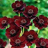 WuWxiuzhzhuo 100seltene Schokolade Cosmos Samen, Schmuckkörbchen für Garten Blumen 1