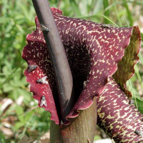 Plant World Seeds - Sauromatum Venosum Seeds