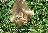 Laufentenküken - Sunny (Wandkalender 2019 DIN A2 quer): LoRo-Artwork (Monatskalender, 14 Seiten ) (CALVENDO Natur)