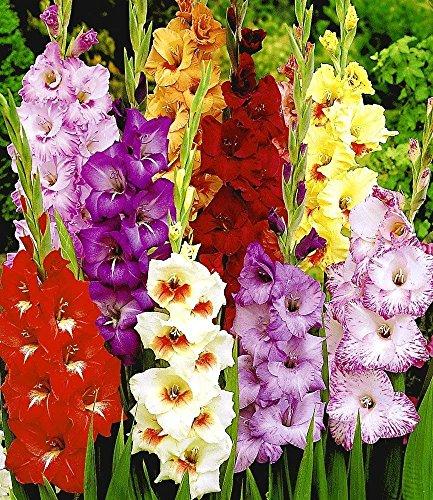 Riesen-Gladiolen-Mix,50 Zwiebeln Gladiolus Mischung