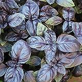 200 Samen Basilikum Red Shiraz - Ocimum basilicum, violette Blätter