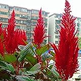 100 PC / bolso chino Pteris Pinnadas Cockscomb (Celosia spicata) semillas coloridas plantas bonsai en macetas de flores para la decoración de jardín 1