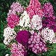 Pack x6 Phlox Paniculata 'Mixed' Perennial Garden Plug Plants