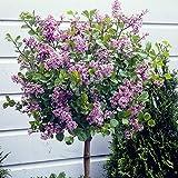Lilac 'Palibin' Standard Tree 90-100cm Tall 3L Pot