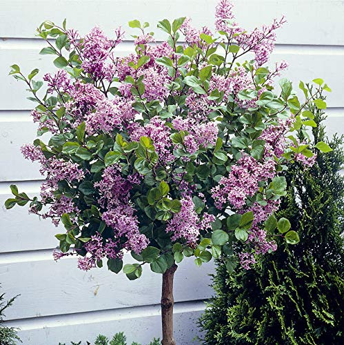 ".""Lilac"