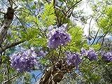 1000 Samen Palisanderbaum -Jacaranda mimosifolia- -Blaue-Blüten-