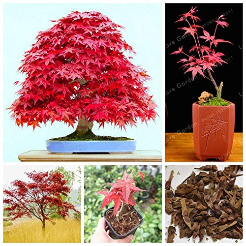 Bloom Green Co. 100% Echt japanischer Red Maple Bonsai-Baum sehr schöne Indoor-Baum 20 PC-Hausgarten-Anlagen Easy Grow -