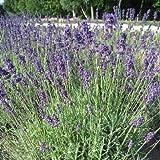 Lavendel ( Lavandula angustifolia DUNKLE HIDCOTE )