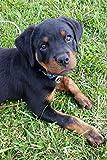 So Cute Rottweiler Puppy Dog Pet Lined Journal