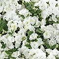 Japanische Azalee - Rhododendron obtusum Schneeperle, 1 Pflanze im 3 Liter Topf 25 - 30 hoch, reiweiße Blüte von Amazon.de Pflanzenservice bei Du und dein Garten