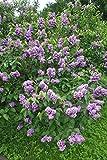 Fliedertraum Syringa vulgaris 'Pavlinka' Gartenpflanze, Flieder, Purpur Blühend, Gefüllt, 40-60 cm