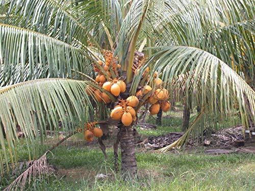 FERRY Bio-Saatgut Nicht nur Pflanzen: 6: en ng Coconut Sprouted Samen- Frischer Cocos Nucifera bereit, to Grow