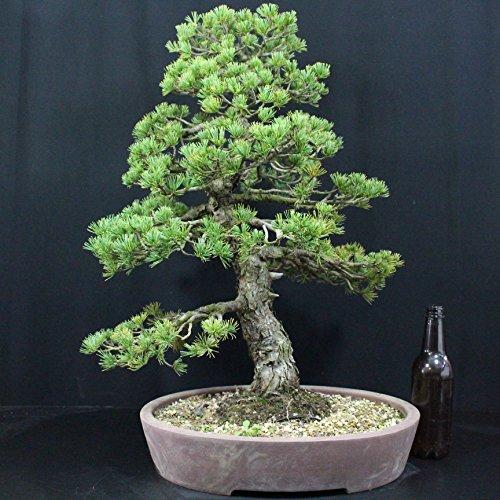 Japanische Mädchenkiefer, Pinus penthphylla, Outdoor-Bonsai, 50 Jahre, Höhe 60 cm