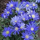 Anemone Blanda 'Blue' - 75 bulbs per pack