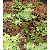 1 Flor de la cáscara + 1 Tijeras de cáncer, Planta de flotación para Estanque de jardín