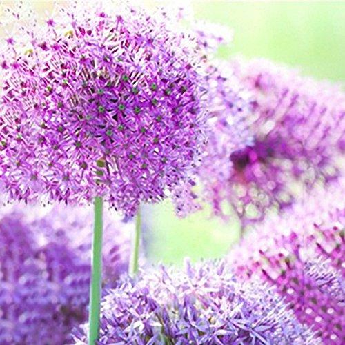 Inovey 100 Pcs Géant Allium Giganteum Graines De Fleurs Belle Cour Jardin Bonsaï Semences De Plantes - 2
