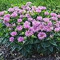 lichtnelke - Indianernessel (Monarda) Pardon 'My Lavender' von Lichtnelke Pflanzenversand bei Du und dein Garten