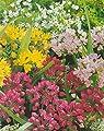 100 gemischte Allium Zierlauch Blumenzwiebeln von Blumenhandel Ullrich auf Du und dein Garten
