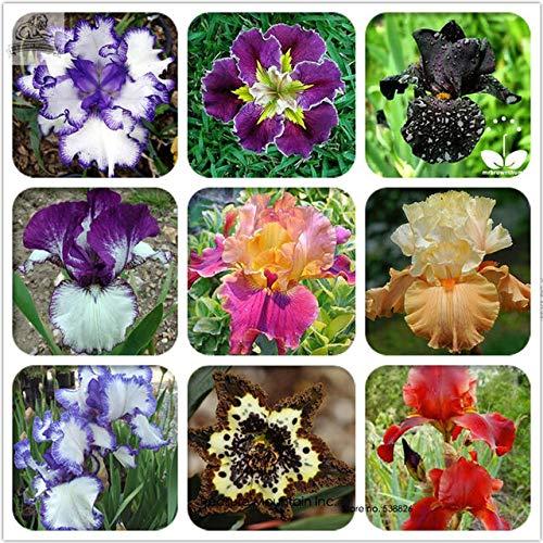 Shoopy Star 8: 100 Pcs japonais Bonsai Plantes en pot Helleborus Graines Accueil ExtÃrieur Jardin RÃgime