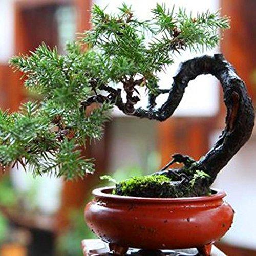 20 pcs / sac Graines de pin noir vert graines bonsaï plantes Pinus thunbergii Parl pour les plantes ligneuses vivaces droites de jardin à la maison 5