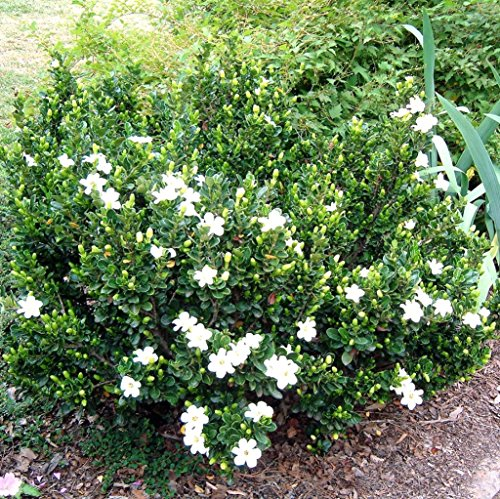 Gardenia Kleims Hardy winterharte Rarität -