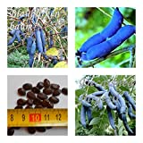 Blaugurkenbaum - 20 Samen - Decaisnea fargesii - essbare Früchte !!