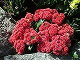 Blooming Kalanchoe at the garden