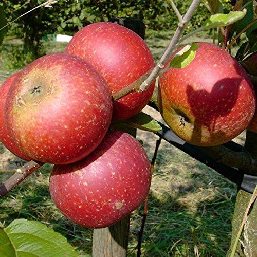 Müllers Grüner Garten Shop Ingrid Marie roter Herbstapfel Weihnachtsapfel Apfelbaum Hochstamm 180 cm Stamm wurzelnackt Sämling