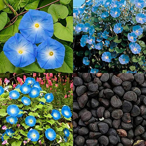 PLAT FIRM KEIM SEEDS: Egrow 20Pcs / Packung Morning Glory Samen Heavenly Blue Flowers Gartenpfad Decora
