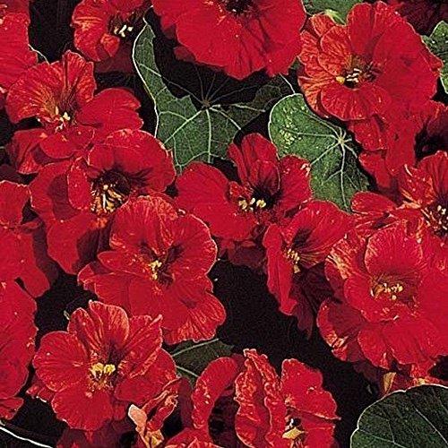 RWS Capucine - rouge - compact - pas radoter â « Cherry Rose - 20 graines