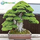 Bonsai Samen 30 Stück Japanische Rote Zeder - Cryptomeria japonica Samen - Bonsai-Baum Evergreen Bonsai Hauptgartenarbeit,