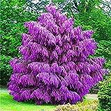 Vista 100 Stücke Seltene Lila Pinus Samen Chinesische Bonsai Baum Kiefer Samen Garten Mehrjährige Vierjahreszeiten Immergrüne Pflanzen Widerstand Gegen Kaltes Lila