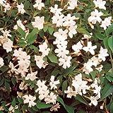 1x de Jasminum Officinale común de hoja caduca arbusto de jazmín de jardín planta en maceta