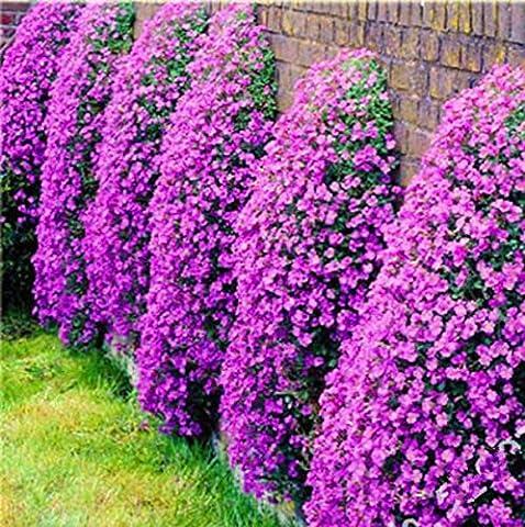 100pcs Aubrieta Samen seltenen Gänsekresse Blumensamen Diy Pflanze Bonsai Samen Mehrjährige Pflanzen für Haus Garten sementes und Rosen Geschenk Schwarz