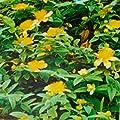 Johanniskraut, Hypericum calycinum 'Rose von Sharon' von VDG-Stauden - Du und dein Garten