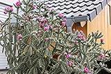 3 verschiedene winterharte Opuntien/Feigenkaktus nach Sorten Set Nr. 7 im 9cm Topf