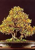 Tropica - Bonsai - Zwerg - Apfelsine (Citrus trifoliata) - 10 Samen