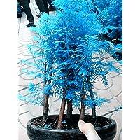 20 semillas PC Mini Bonsai azul Metasequoia. Plantas raras azul natural