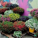 #7: Creative Farmer Flower Seeds : Petunia Best Pro Mix Flower Seeds Hybrid Flower Seeds For Summer Garden [Home Garden Seeds Eco Pack]
