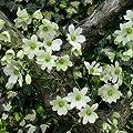 Clematis Early Sensation (Immergrün) Kletterpflanze - weiss - 1,5 Liter Topfen - ClematisOnline von ClematisOnline auf Du und dein Garten