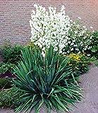 """BALDUR-Garten Palmlilie """"Yucca"""",3 Stück"""