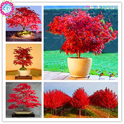 Bloom Green Co. 30pcs / bag Mini Bonsai Japanische Rote Ahornbaum Graines Zier Diy Pflanze Blume Topf Indoor-Garten-Anlagen -