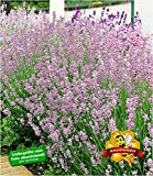 BALDUR-Garten Duft-Lavendel 'Rosa' echter Lavendel, 3 Pflanzen Lavandula angustifolia Duftlavendel