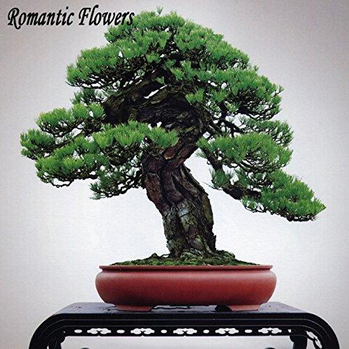 50pcs / Bag, Black Pine Bonsai-Baum-Samen, Topf Japanese Black Pine, Dekoration für Schöner Garten (Pine Japanese Black Bonsai)