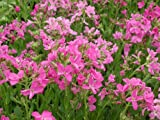 Arabis Blepharophylla Spring Charm plants 9cm top quality Lincolnshire grown Alpine plants