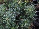 Tränen-Kiefer (Pinus wallichiana) - Pflanze im Multitopfballen - Größe: 15 - 30 cm - Qualität: 2+1 (3-jähriger Sämling)