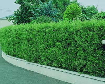 Spar-Pack Lebensbaum-Hecke Brabant, 12 Pflanzen für ca. 4 Meter Hecke von Amazon.de Pflanzenservice - Du und dein Garten