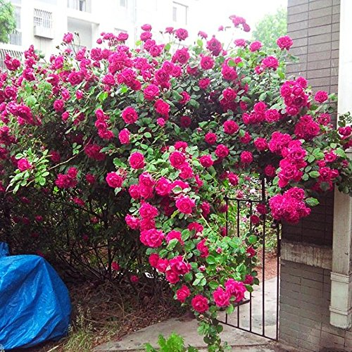 500 / Sac de haute qualité Purple Rose Graines Belle fleurs en plein air Bricolage familiale Jardin Bonsai de vente en gros
